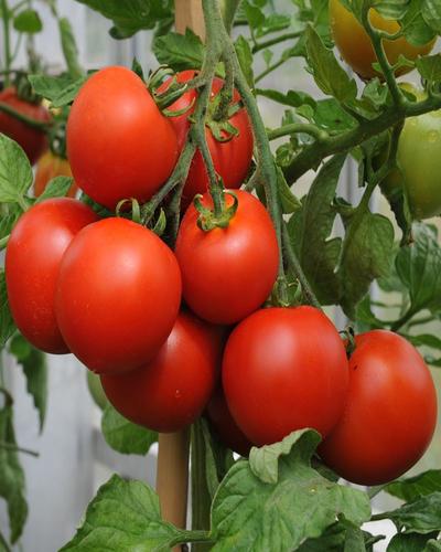Tunnel Tomato- special  गोलभेंडा स्पेसल ( 1 kg )